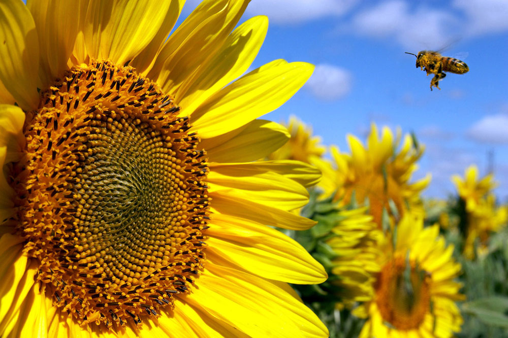 A bee heads for a bloomed sunflower in a field near Saskatoon. 2005.