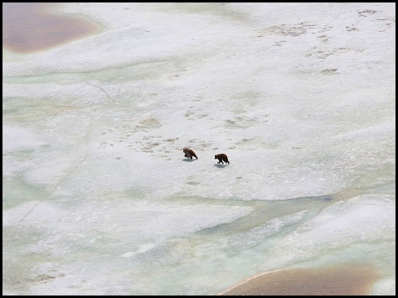 NWT Inuvik to Tuk FP story -  Grizzly bears playon a frozen lake on the Arctic tundra just outside of Tuktoyaktuk, NWT. Photo: Ryan Jackson. June 10, 2013. Financial Post